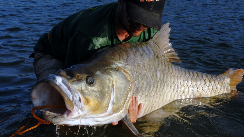Hump-backed mahseer 3
