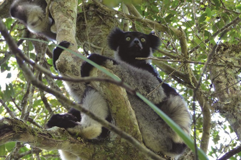 A lemur in a tree