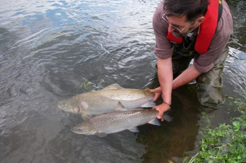 Man releasing salmon and sea trout in the English Channel