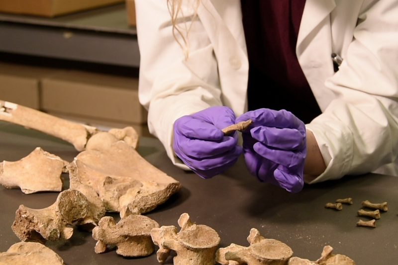 Analysing skeletons from a Viking mass grave