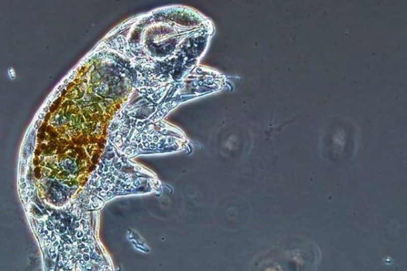 Image of a tardigrade on @microbialecology