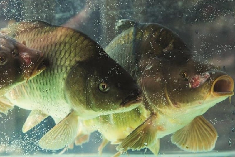 Protecting native fish species