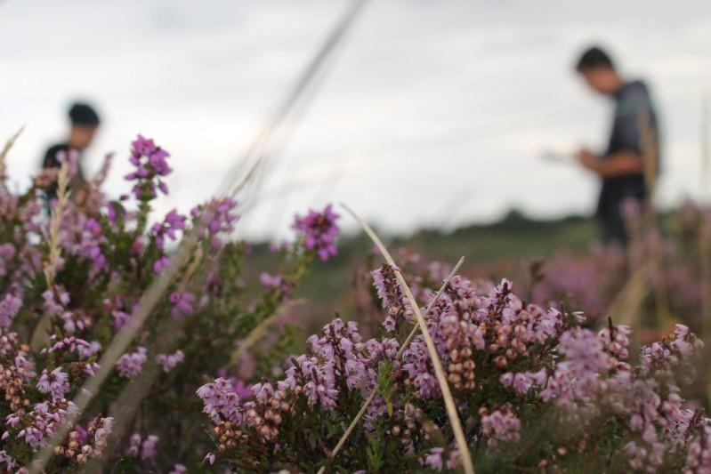 Purbeck heath lavender