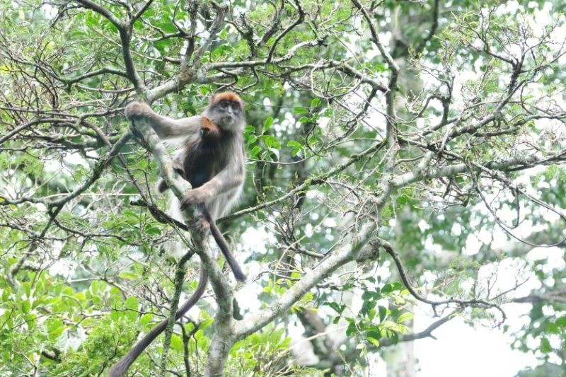 Image of a Red colobus